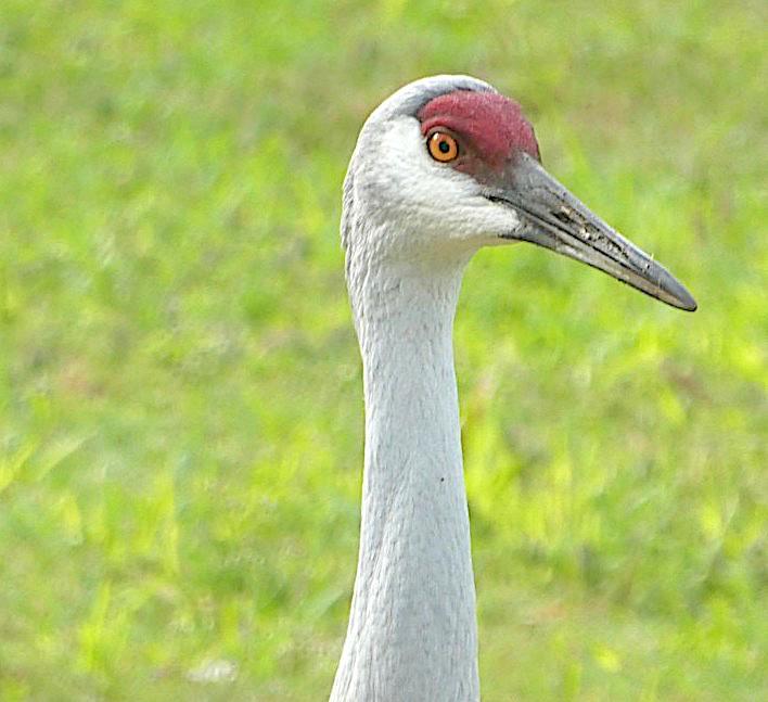 .Sandhill Crane Antigonecanadensis Abaco, Bahamas (Woody Bracey)