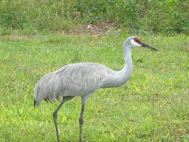Sandhill Crane Antigonecanadensis Abaco, Bahamas (Woody Bracey)
