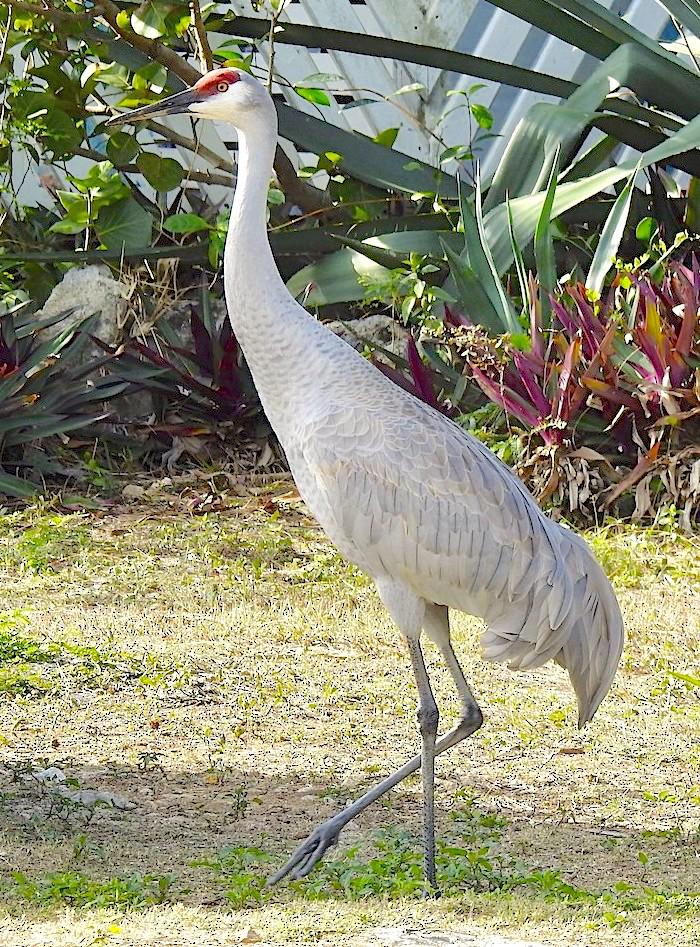 Sandhill Crane Antigonecanadensis Abaco, Bahamas (Erika Gates / Martha Cartwright)