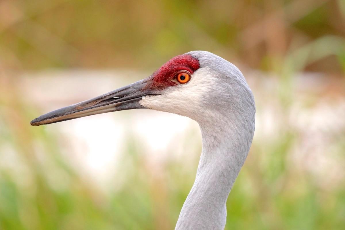 Sandhill Crane Antigonecanadensis Abaco, Bahamas (Christopher Johnson)