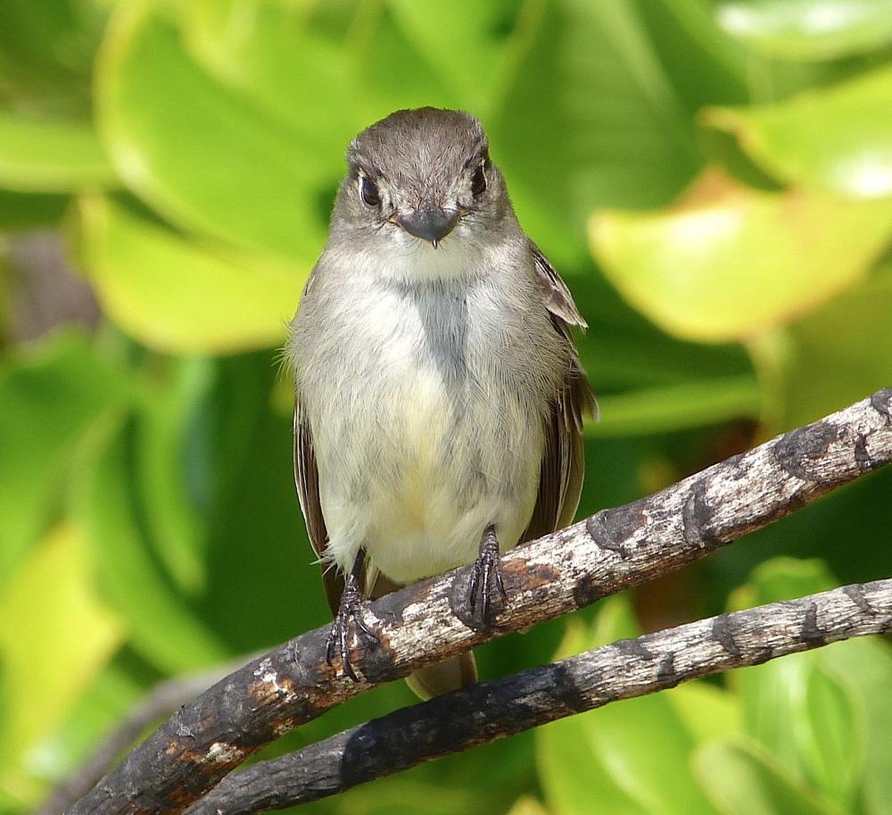 Cuban Pewee, Contopus caribaeus bahamensis, Casuarina Abaco Bahamas (Keith Salvesen Photography)