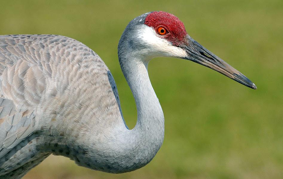 Sandhill Crane Antigonecanadensis (Audubon Birds)