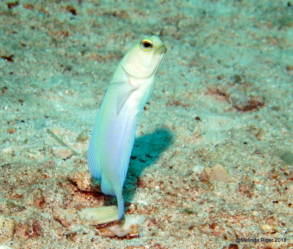 Yellowhead Jawfish (Melinda Riger / Grand Bahama Scuba)
