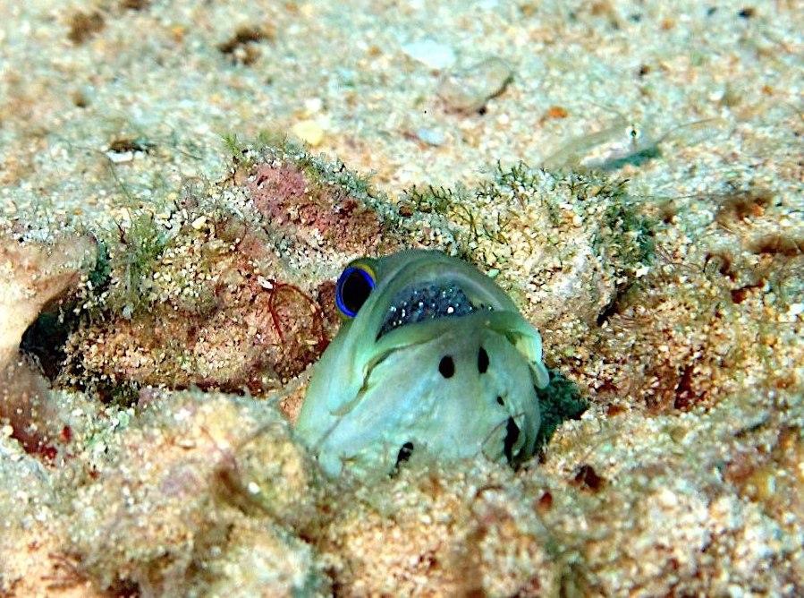 Yellowhead Jawfish (Melinda Riger / Grand Bahama Scuba)