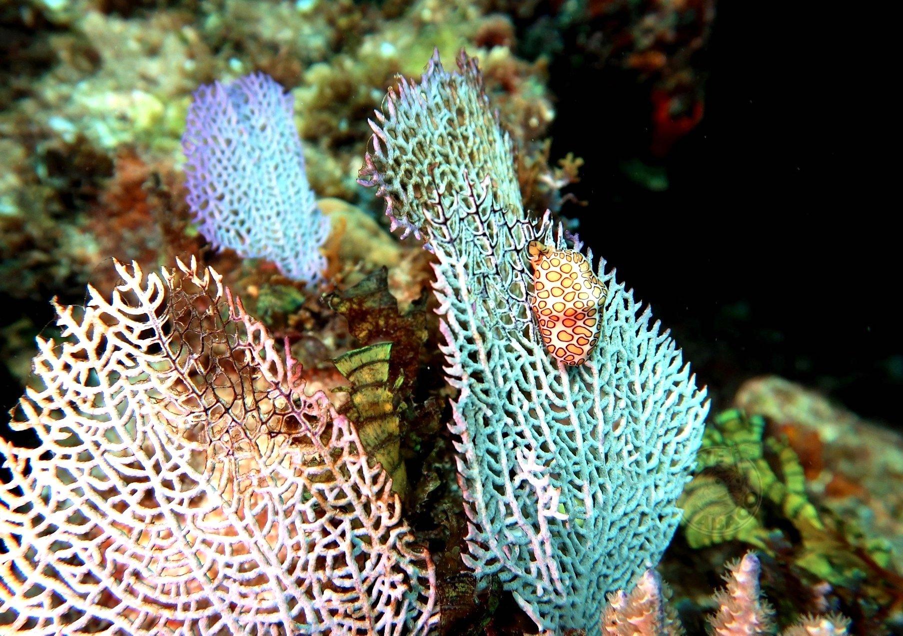 Purple Sea Fans, Abaco, Bahamas (Dive Abaco / Keith & Melinda Rogers)