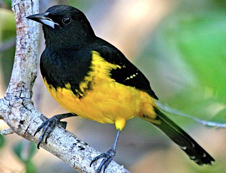 Bahama Oriole, Andros (D Belasco / abcbirds.org)