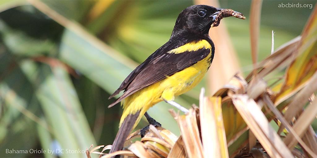 Bahama Oriole, Andros (Dan Stonko / abcbirds.org)