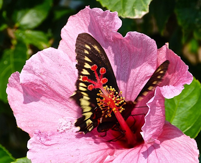 Polydamas (gold-rimmed) Swallowtail Battus Polydamas (Keith Salvesen)