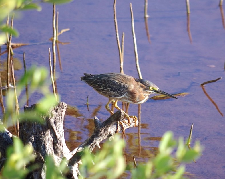 GREEN HERON FISHING, GILPIN POND, ABACO, BAHAMAS (Keith Salvesen Photography)