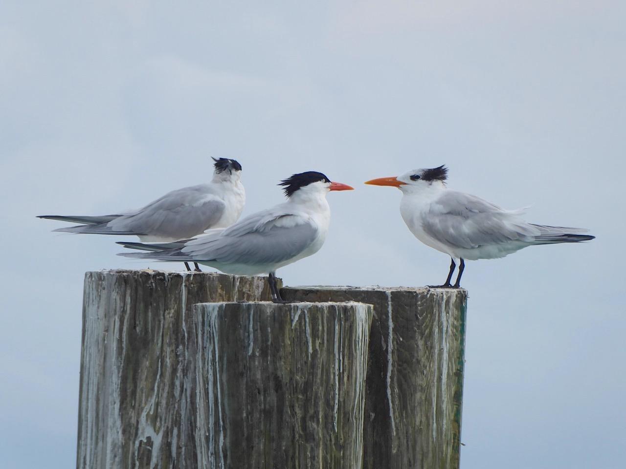 Royal Terns, Sandy Point, Abaco Bahamas (Keith Salvesen)