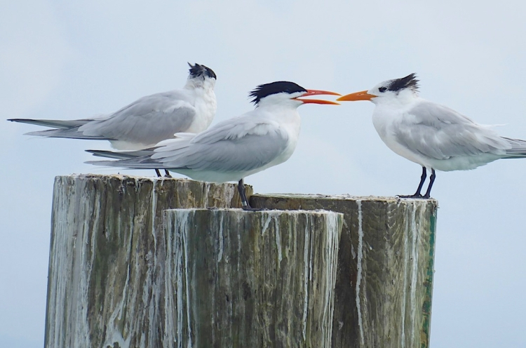 Royal Terns, Sandy Point, Abaco Bahamas (Keith Salvesen)