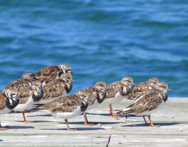 Ruddy Turnstones, Sandy Point, Abaco, Bahamas (Keith Salvesen)