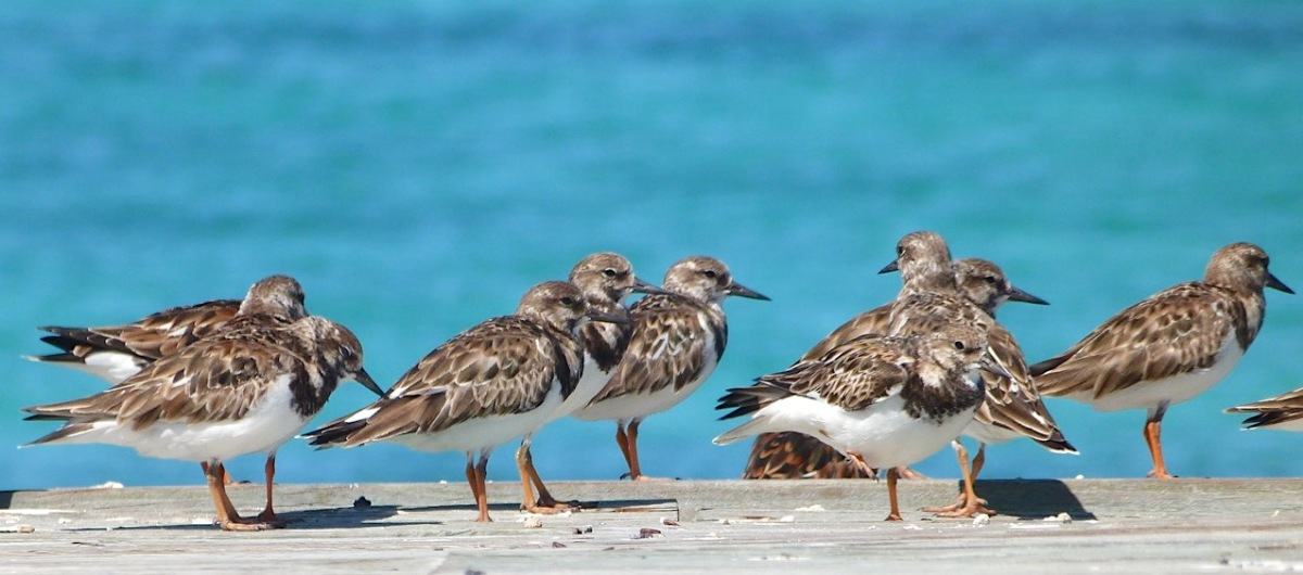 Ruddy Turnstones, Sandy Point, Abaco, Bahamas (Keith Salvesen)
