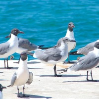 """MEET THE FLOCKERS..."" ON ABACO"