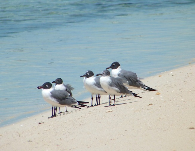 Laughing Gulls, Sandy Point, Abaco, Bahamas (Keith Salvesen)