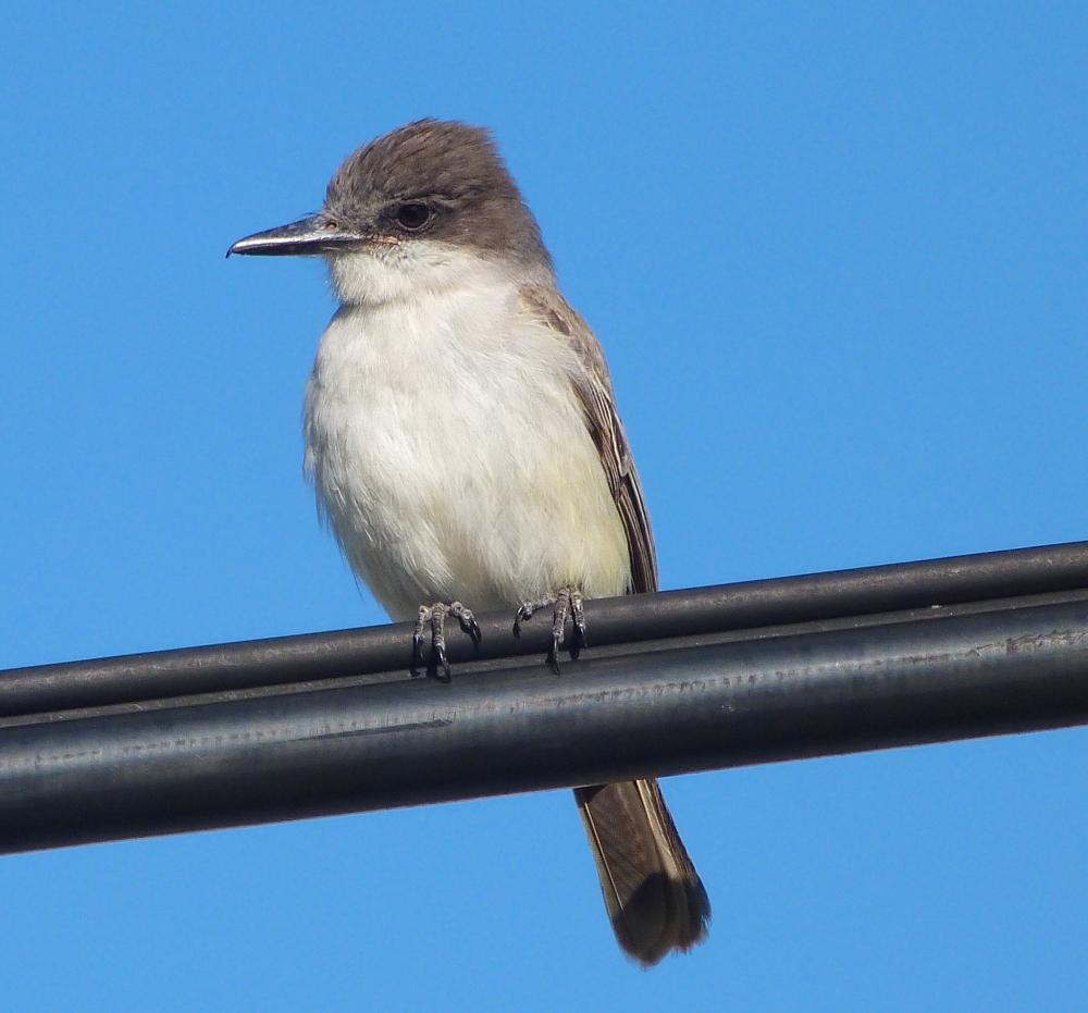 Loggerhead Kingbird, Sandy Point Abaco Bahamas (Keith Salvesen)