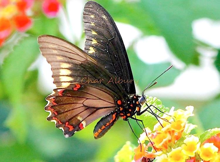 Polydamas (gold-rimmed) Swallowtail Battus Polydamas (Char Albury)