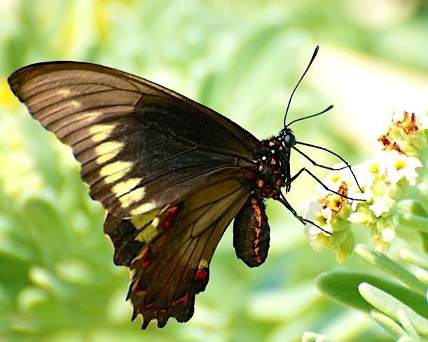 Polydamas (gold-rimmed) Swallowtail Battus Polydamas (Nina Henry)