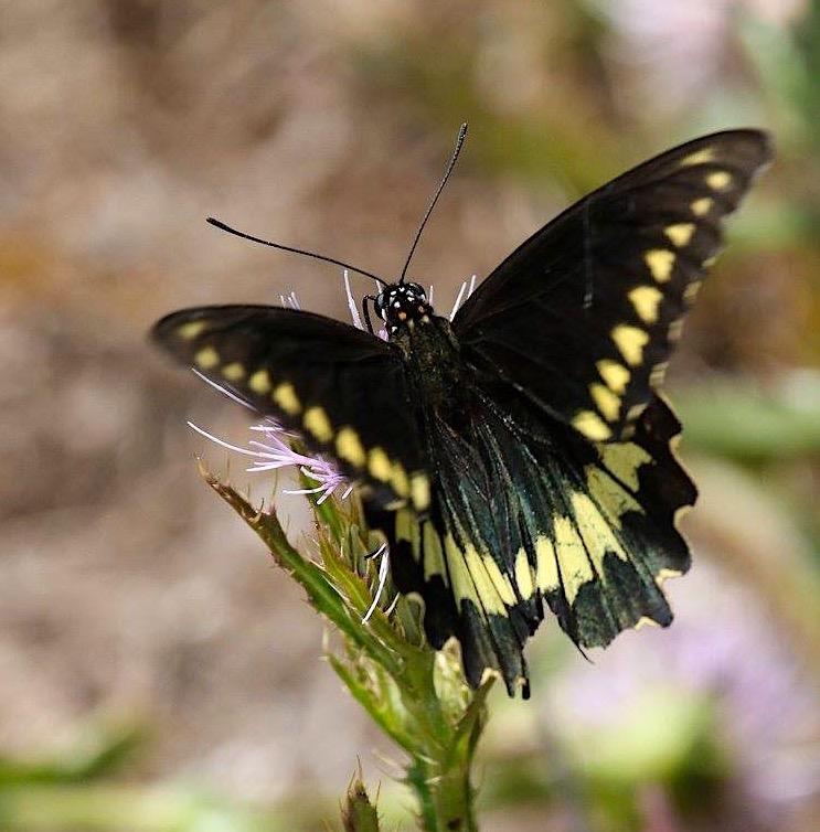Polydamas (gold-rimmed) Swallowtail Battus Polydamas (Rhonda Pearce)