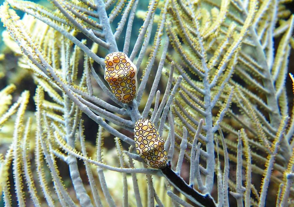 Flamingo Tongue Snails (Melinda Rogers, Dive Abaco, Bahamas)