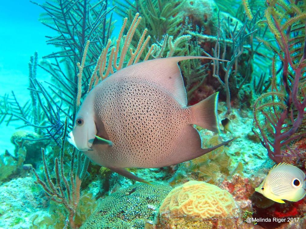 Gray Angelfish 9with four-eyed butterflyfish), Bahamas (Melinda Riger / Grand Bahama Scuba)