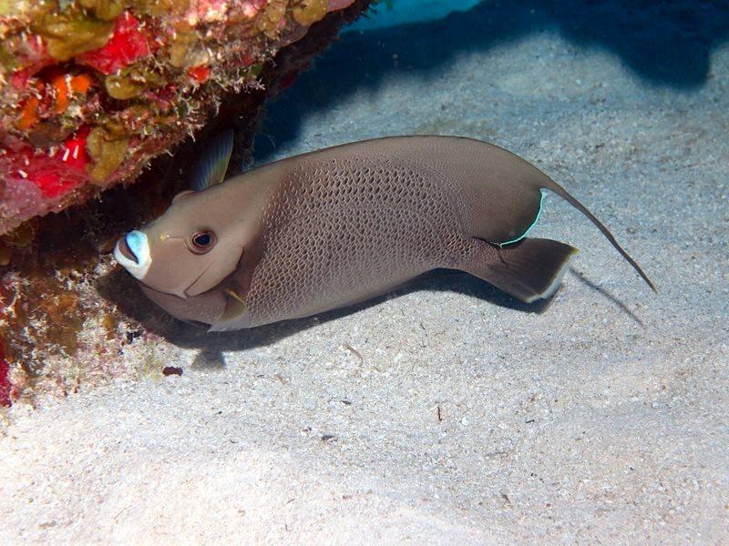 Gray Angelfish, Bahamas (Melinda Riger / Grand Bahama Scuba)