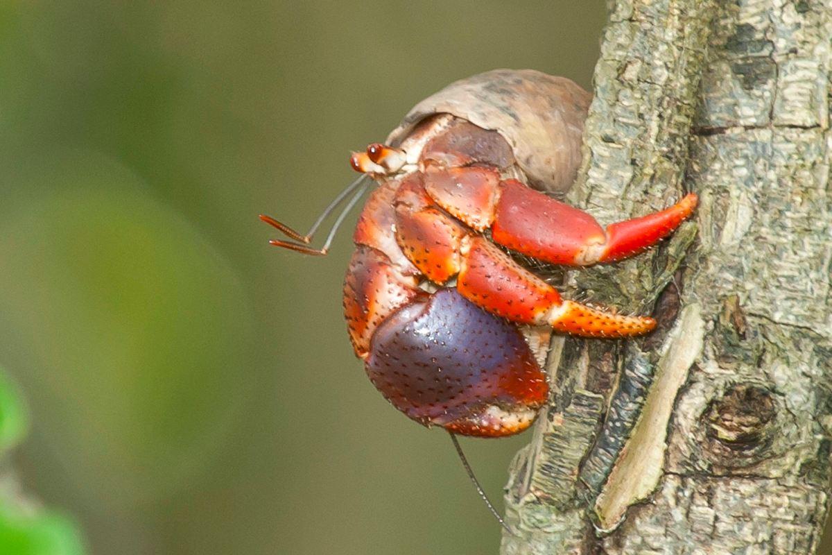 Hermit Crab, Abaco Bahamas (Tom Sheley)