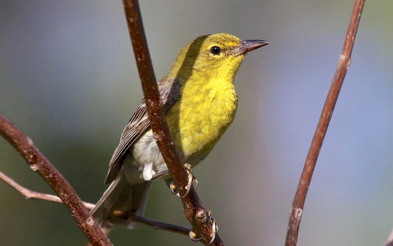 Pine Warbler, Abaco Bahamas (Alex Hughes)