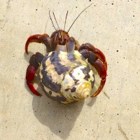 HERMIT CRABS: SHELL-DWELLERS WITH MOBILE HOMES