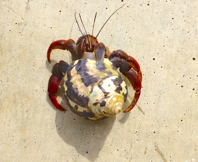Hermit Crab, Abaco Bahamas (Keith Salvesen / Rolling Harbour)