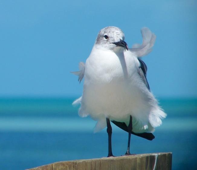 Laughing Gull (non-breeding adult) Sandy Point, Abaco Bahamas (Keith Salvesen)