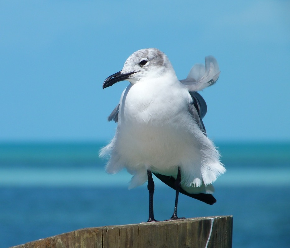 Laughing Gull (non-breeding adult) Sandy Point, Abaco Bahamas (Keith Salvesen)