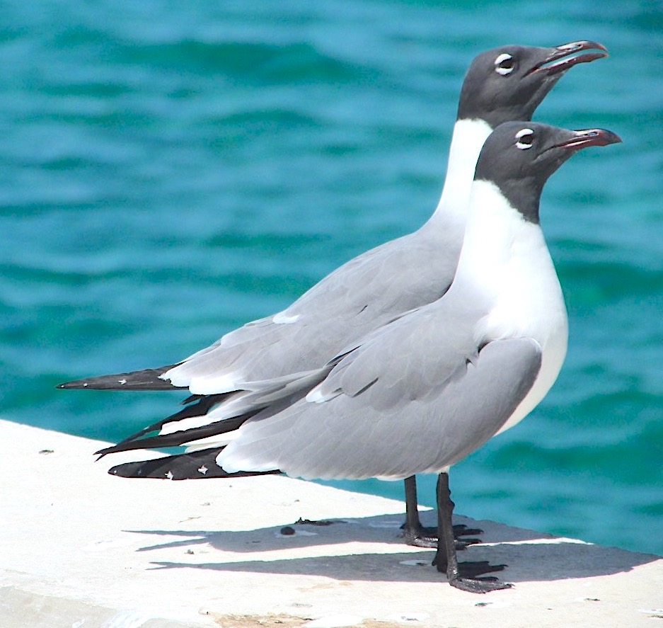 Laughing Gulls, Sandy Point Abaco Bahamas