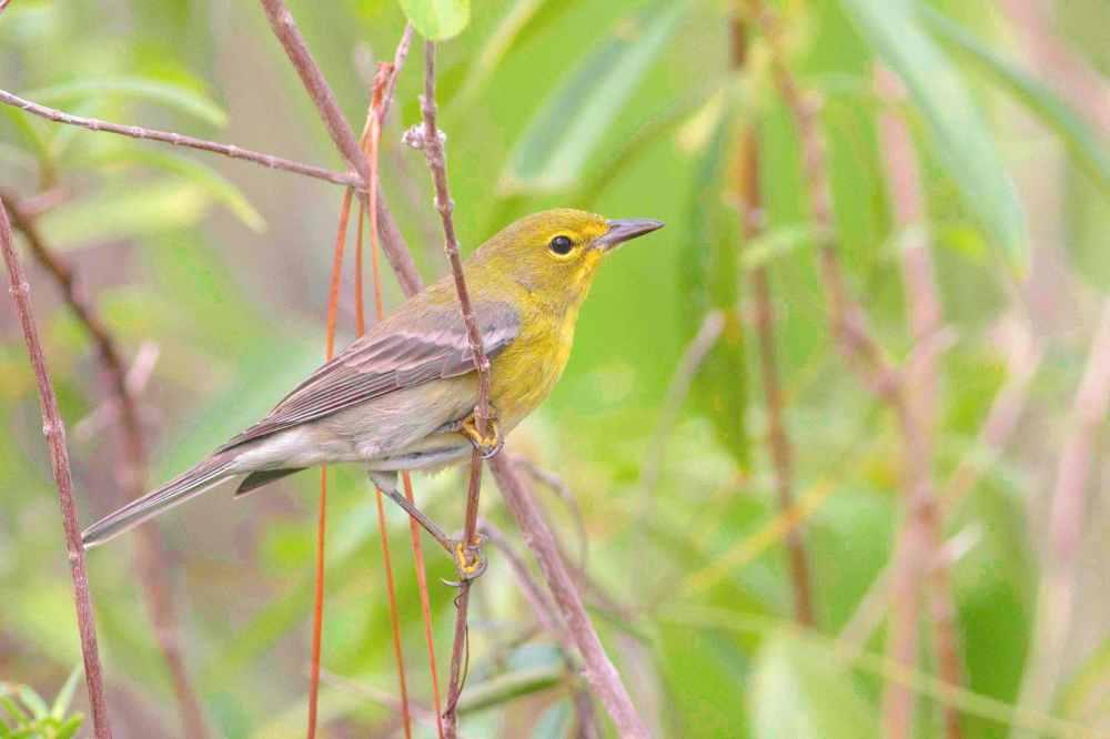 Pine Warbler, Abaco Bahamas (Tom Reed)