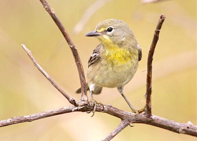 Pine Warbler (immature), Abaco Bahamas (Bruce Hallett)