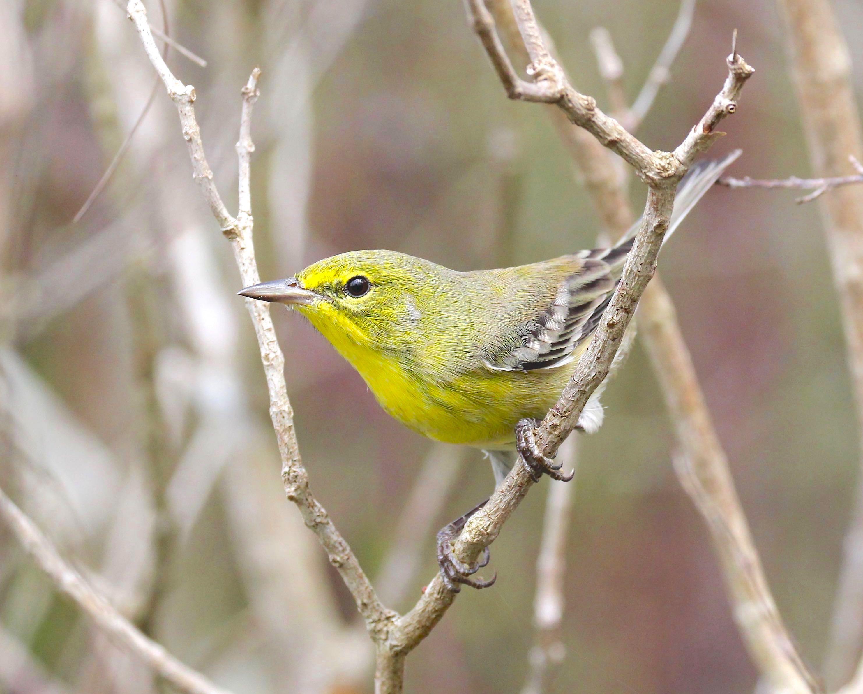 Pine Warbler, Abaco Bahamas (Bruce Hallett)