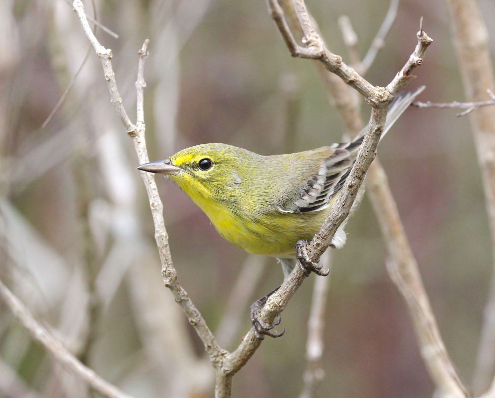 Pine warbler (m) Abaco Bahamas (Bruce Hallett)