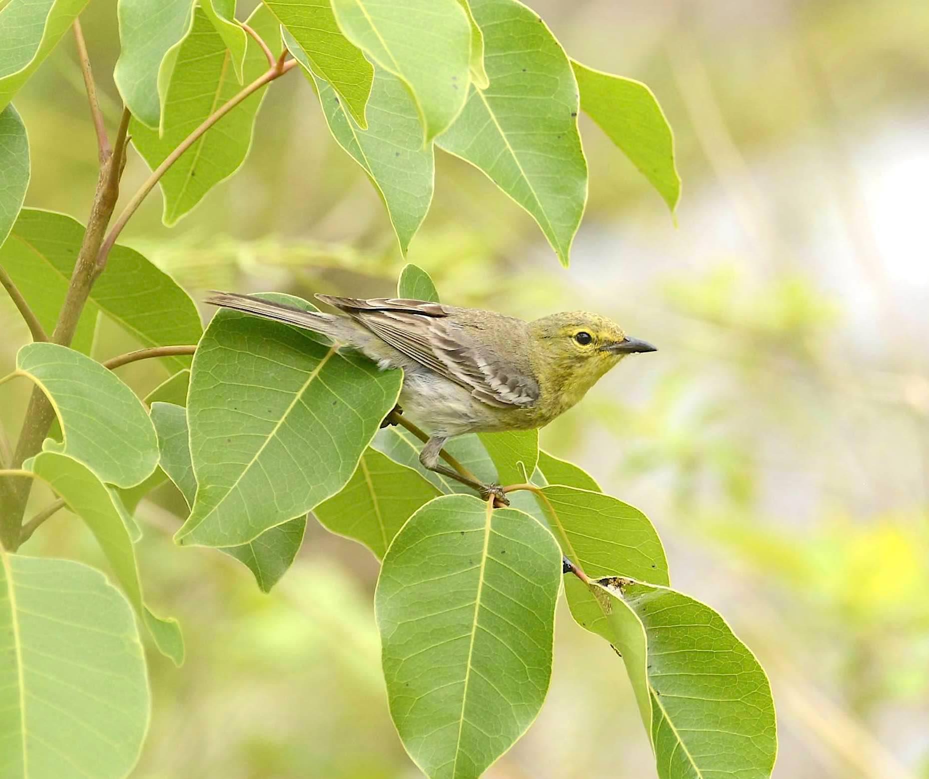 Pine Warbler, Abaco Bahamas (Tom Sheley)