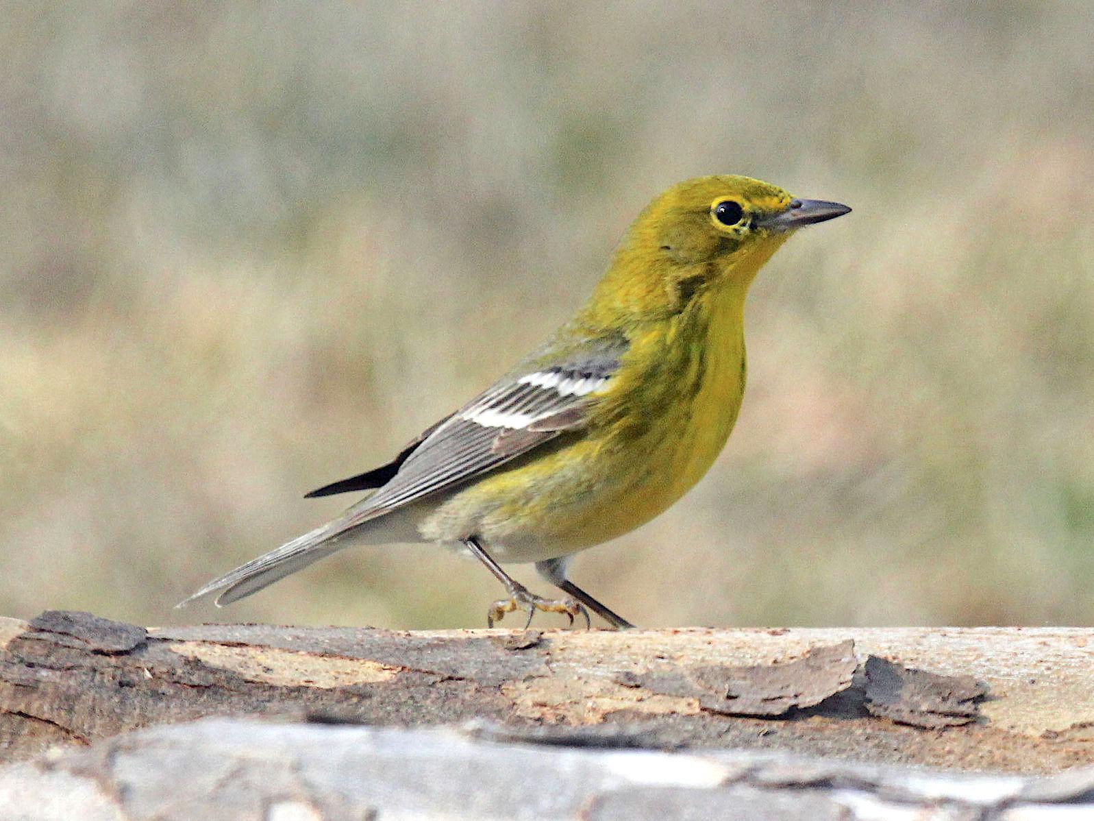 Pine Warbler (Dick Daniels wiki)