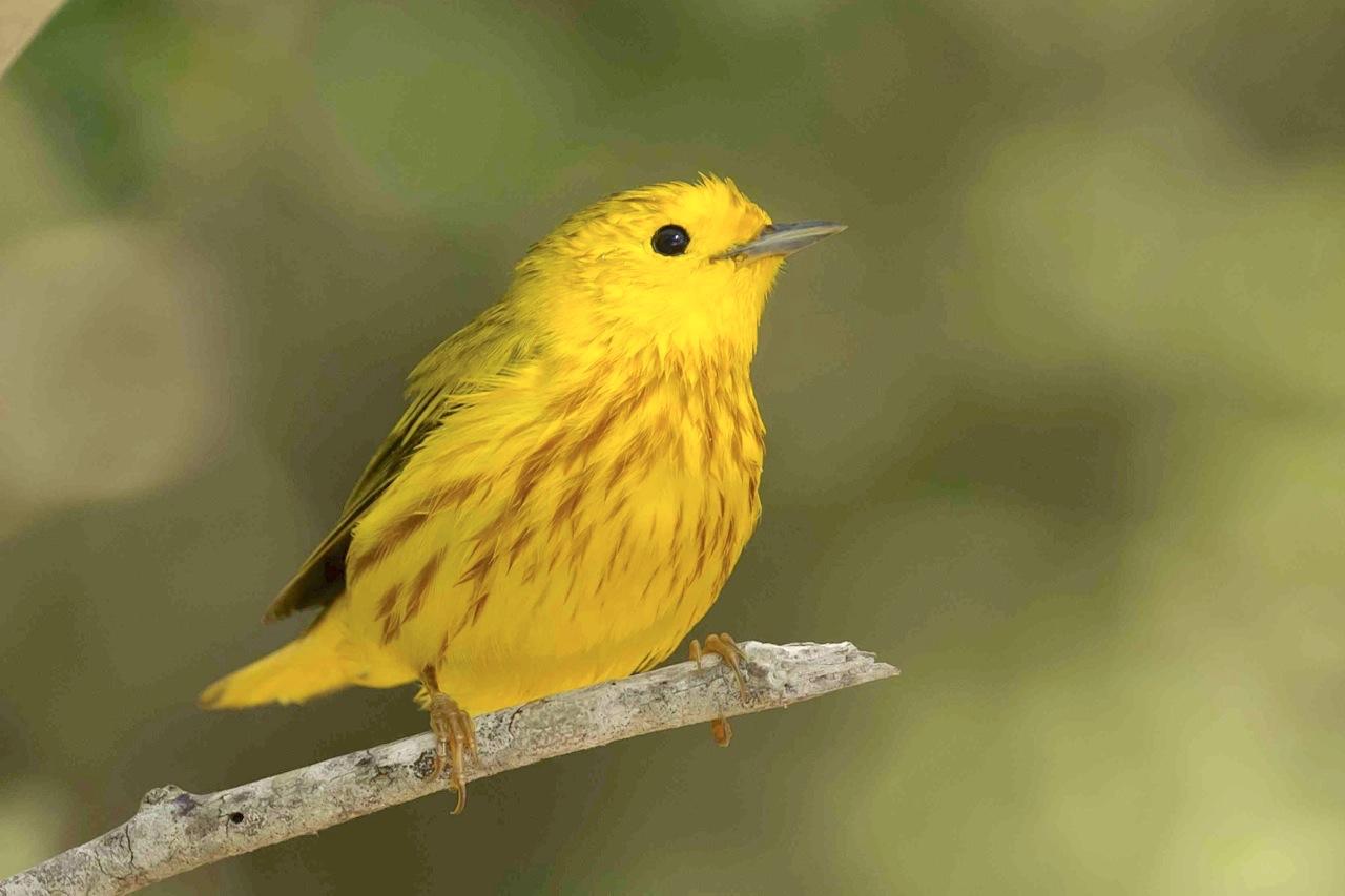 Yellow Warbler, Abaco Bahamas (Tom Sheley)