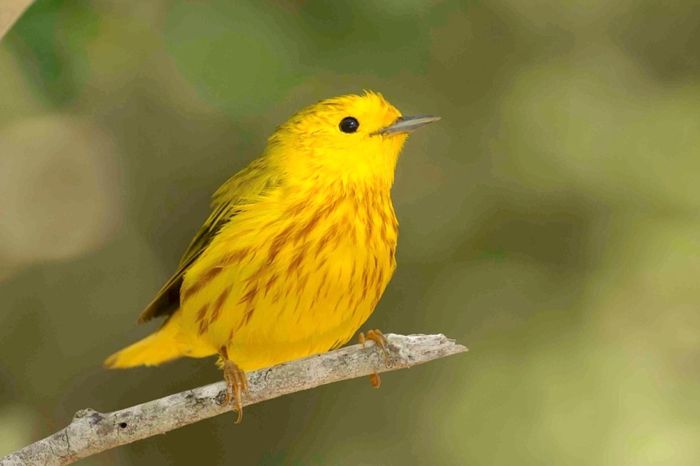 Yellow Warbler, Abaco Bahamas (Tom Sheley)