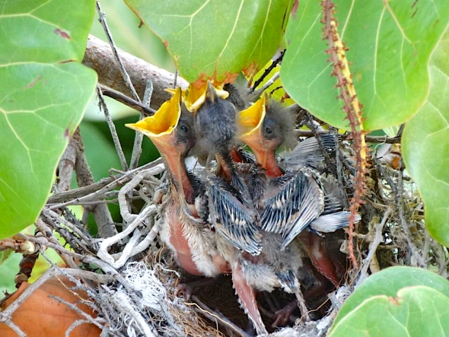 Northern Mockingbird Chicks being fed in nest, Abaco Bahamas (Melissa Maura)