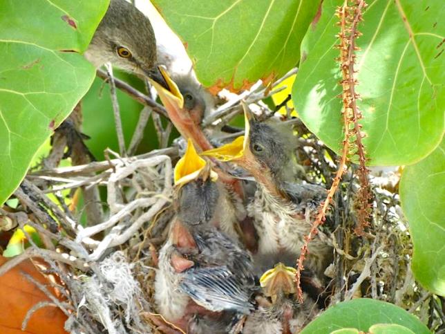 Northern Mockingbird Chicks being fed in nest, Abaco Bahamas (Melissa Maura)