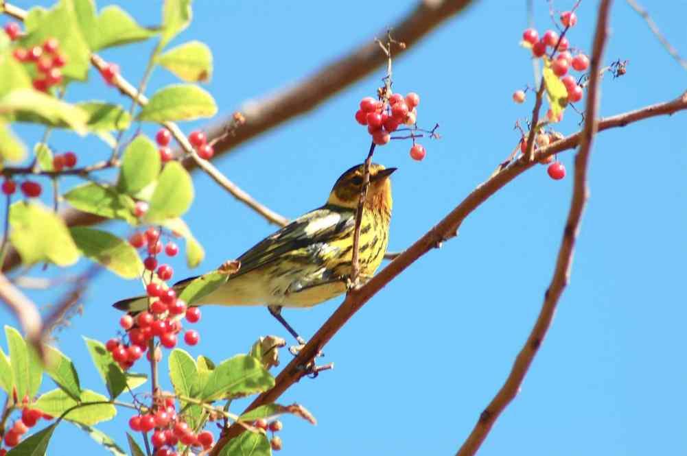 Cape May Warbler, Abaco Bahamas (Charmaine Albury)
