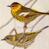 CAPE MAY WARBLER FOR MAY: WHAT'S IN A NAME?