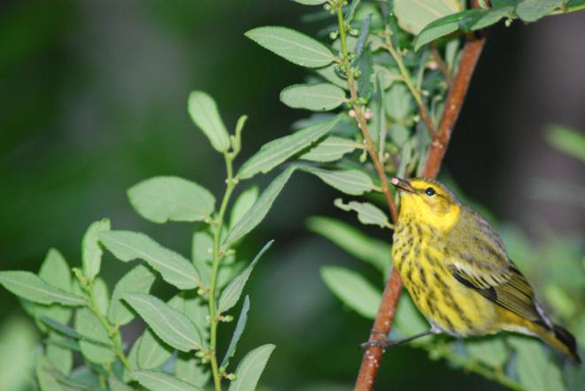 Cape May Warbler, Abaco Bahamas (Sandy Walker)
