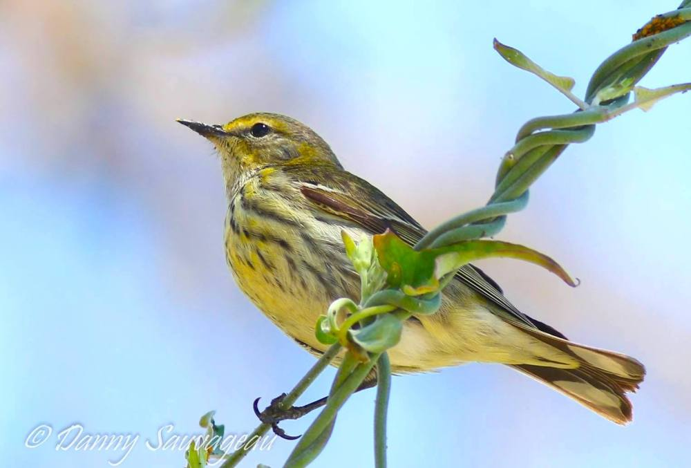 Cape May Warbler (Danny Sauvageau)
