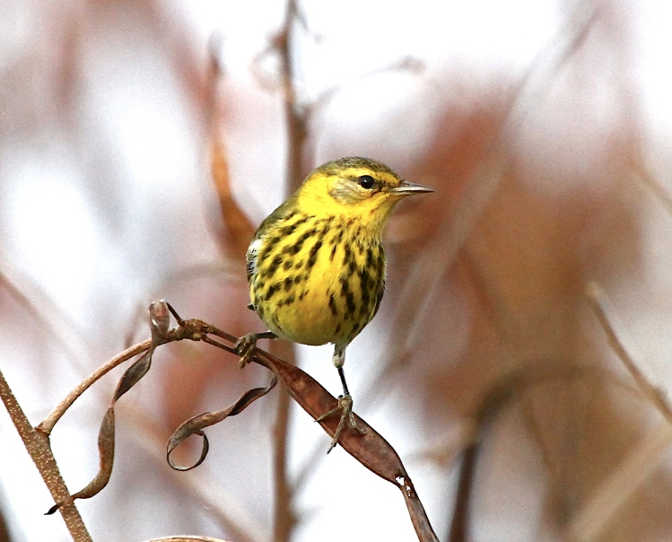 Cape May Warbler, Abaco Bahamas (Bruce Hallett)