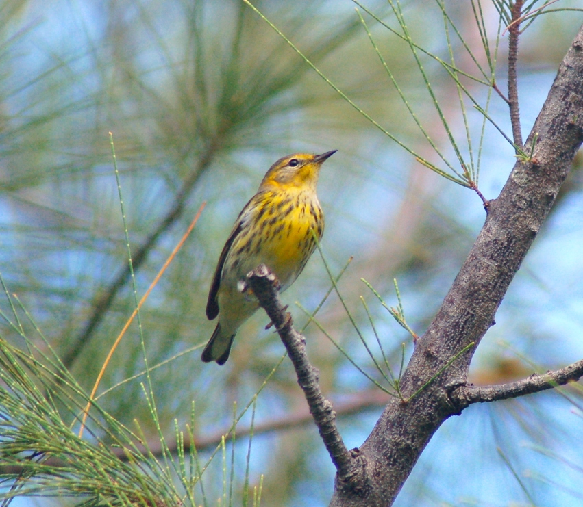 Cape May Warbler, Abaco Bahamas (Becky Marvil)