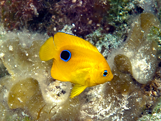 Rock Beauty, Bahamas (Living Oceans Foundation))